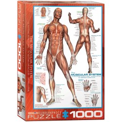 The Muscular System (1000)